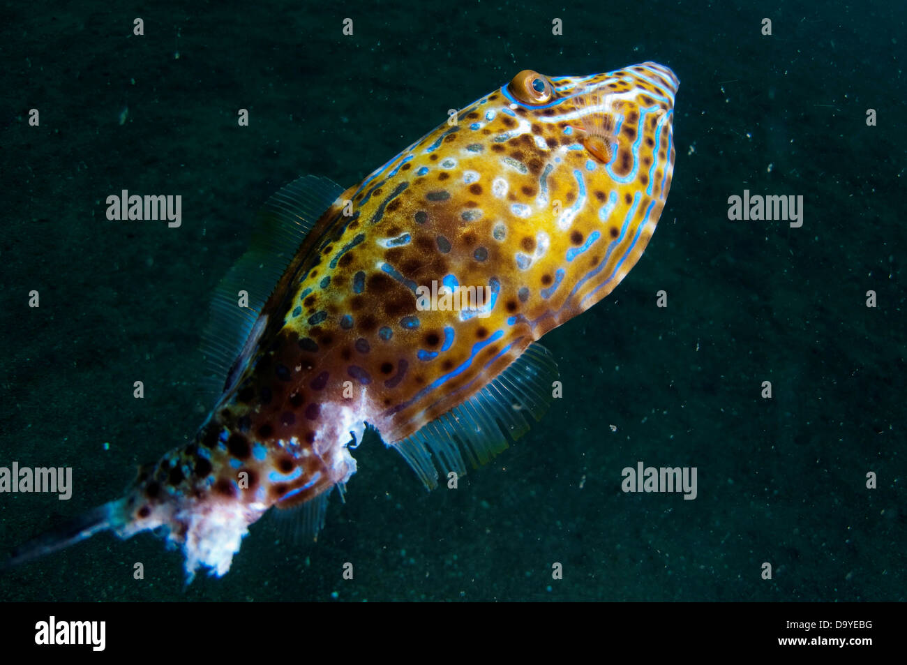 Scrawled filefish (AL uterus scripts) with chunk taken out of rear, Lembeh Strait, Sulawesi, Indonesia - Stock Image
