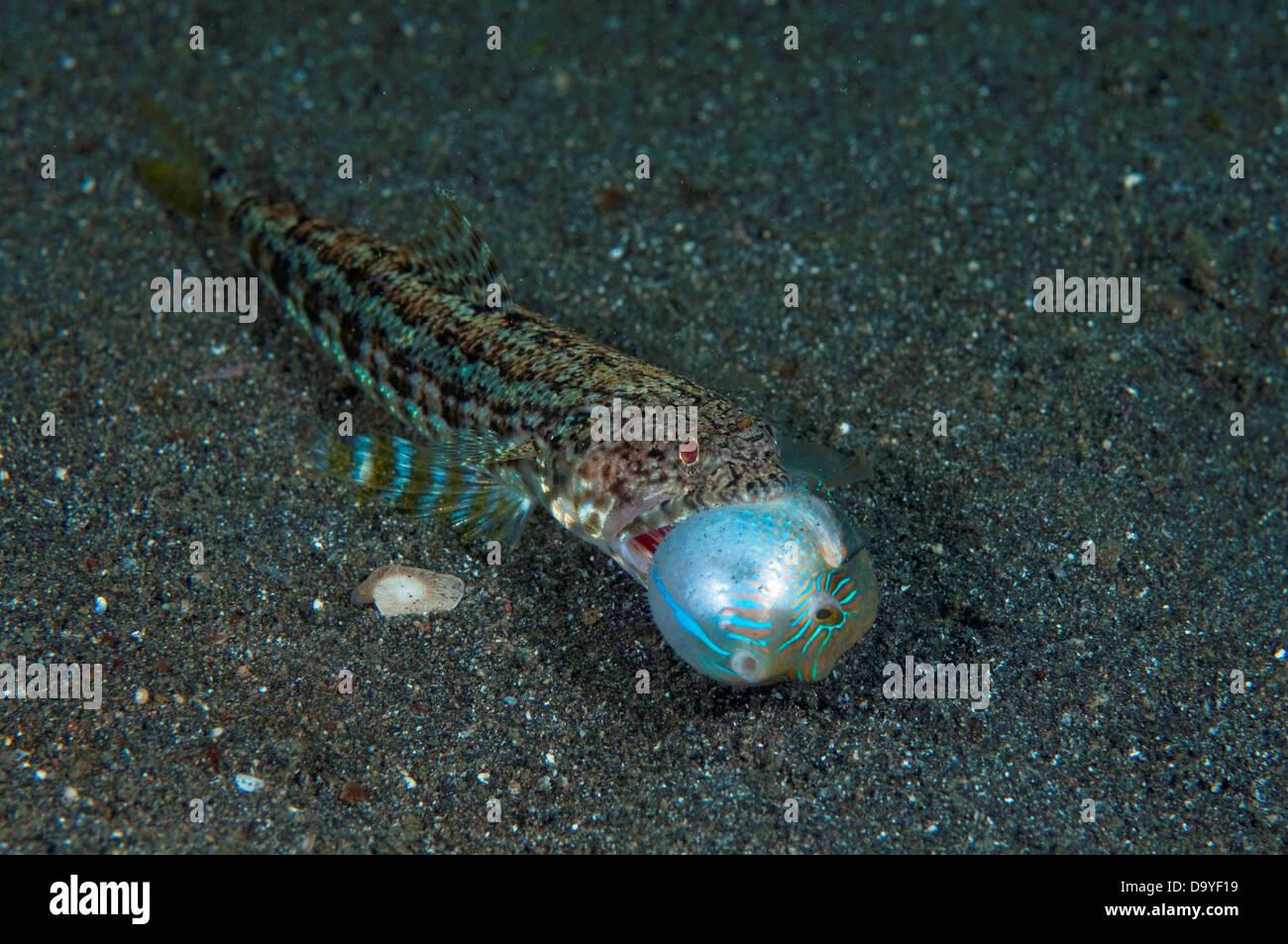 Variegated Lizardfish, Synodus variegatus, On sand with captured Toby, Lembeh Strait, Sulawesi, Indonesia Stock Photo