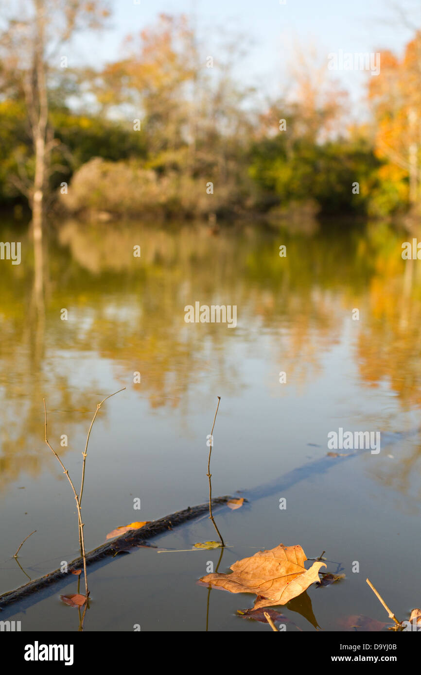 Fall leaf floating in a murky pond - Stock Image