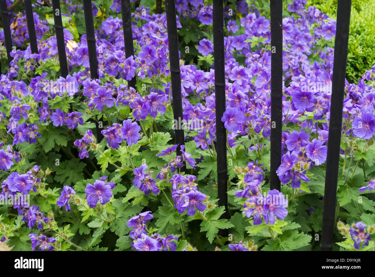 Geraniums and wrought iron railings, England, June, - Stock Image