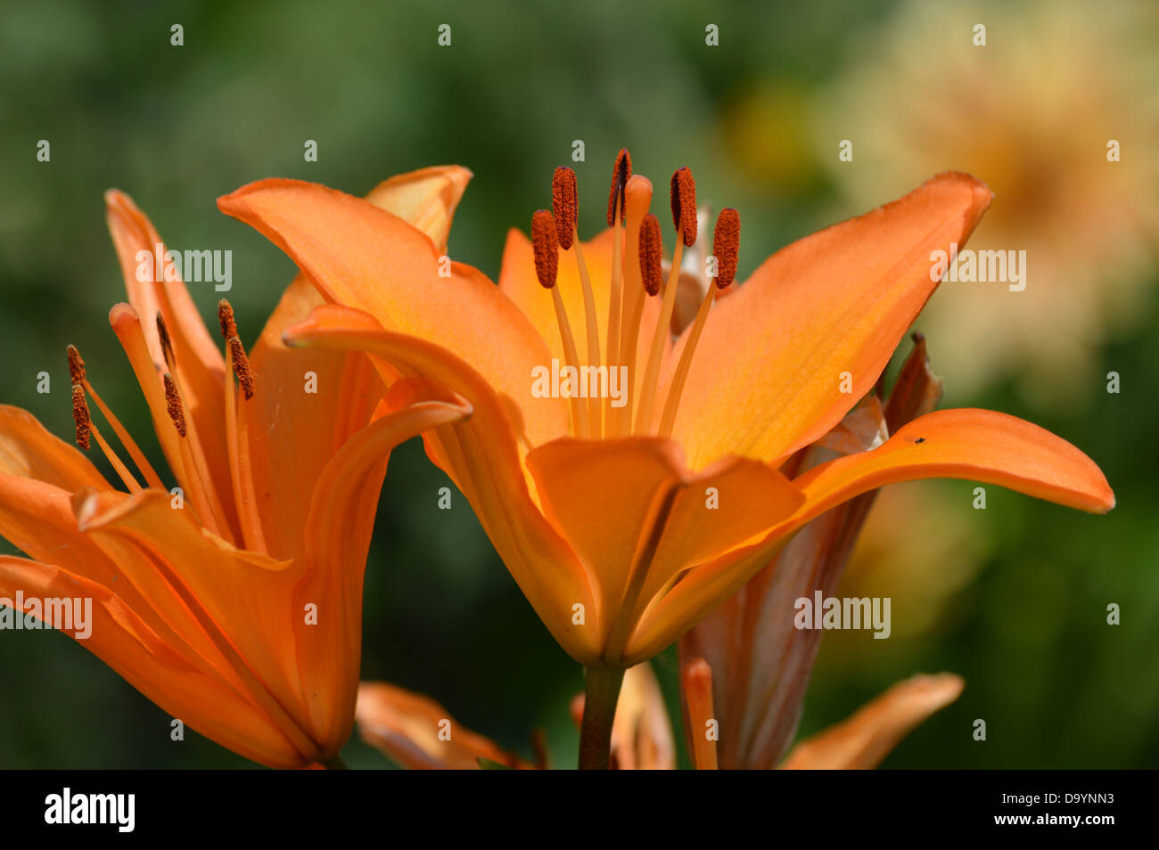 Lily flowers nature orange pollen stamen natural beauty lily flowers nature orange pollen stamen natural beauty tropical flower tropics izmirmasajfo Images
