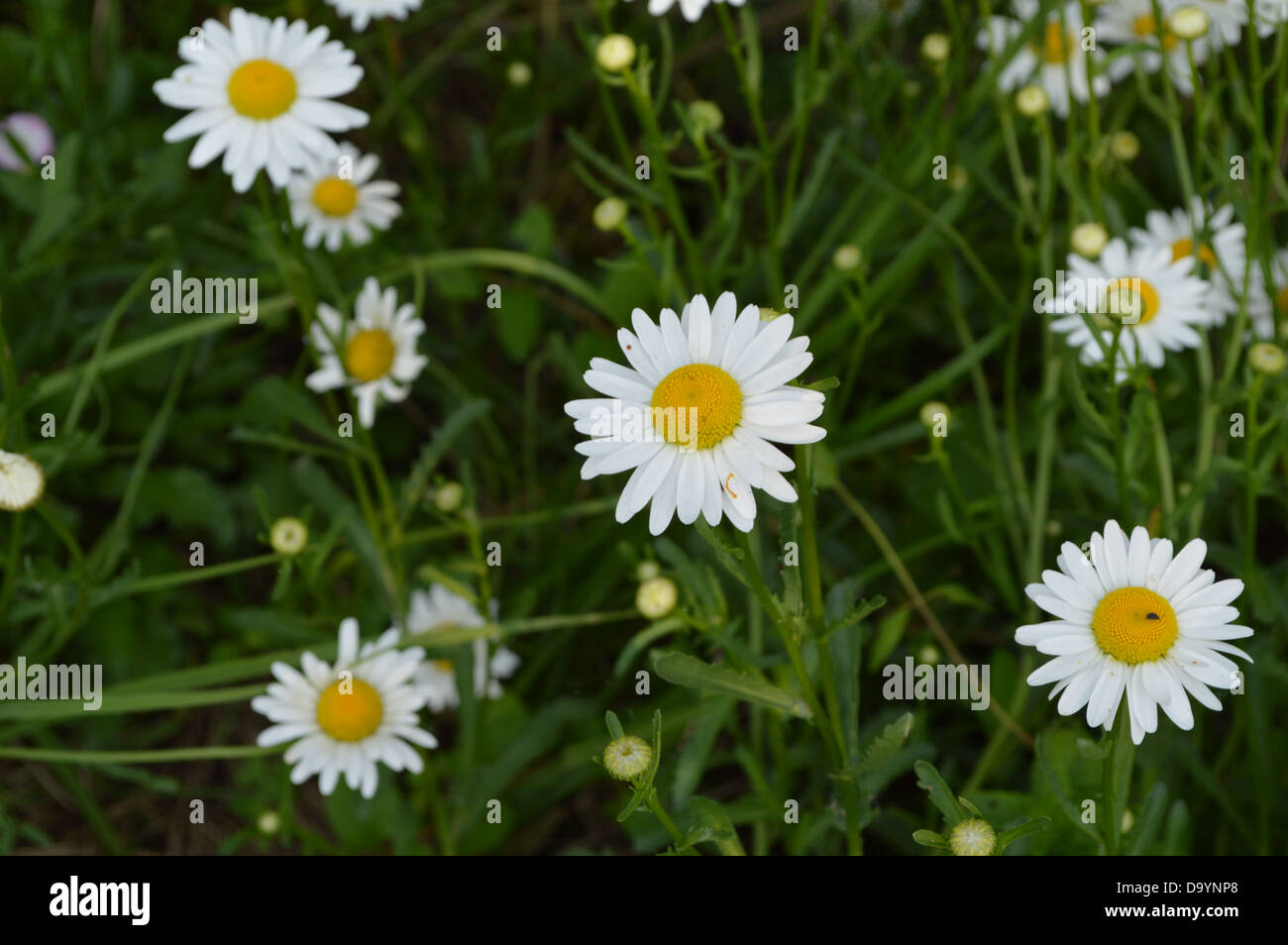 Flowers White Flowers Wild Flowers India Spring Summer Nature