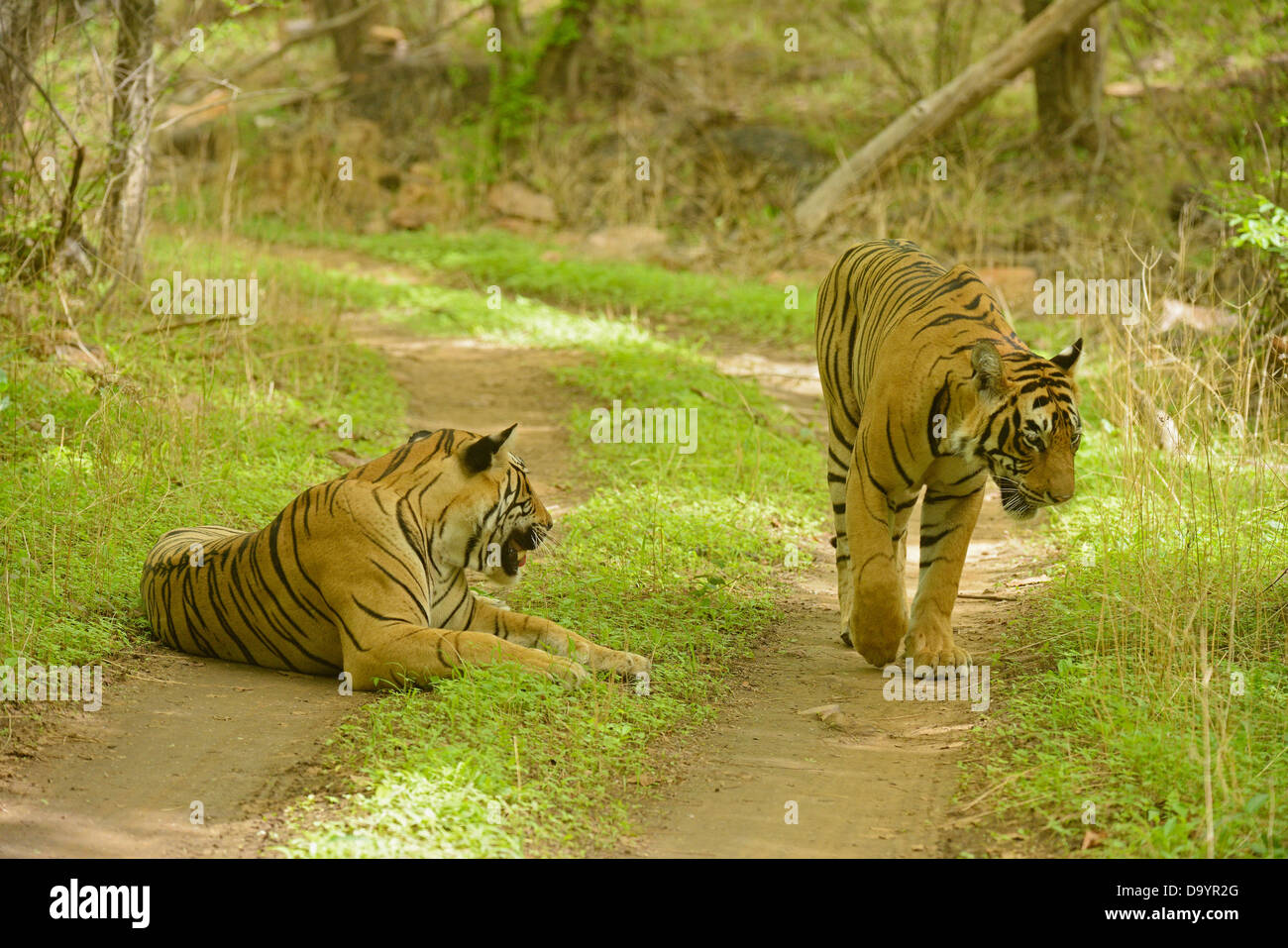 Two wild tigers on a forest path in the forests of Ranthambhore during monsoons Stock Photo