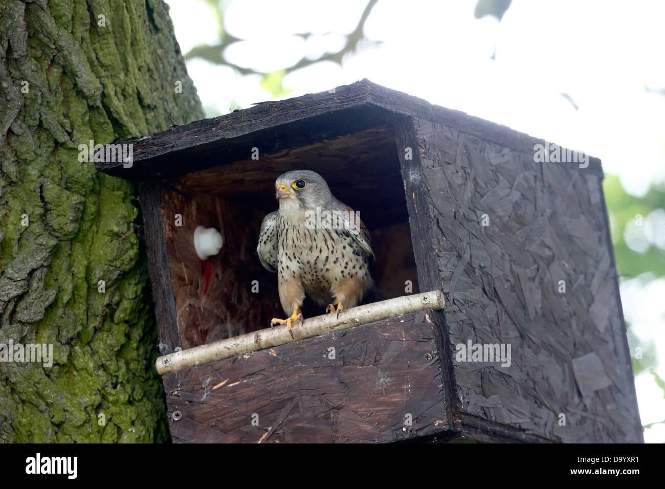 Kestrel, Falco tinnunculus, single male at nest box, Warwickshire, June 2013 - Stock Image