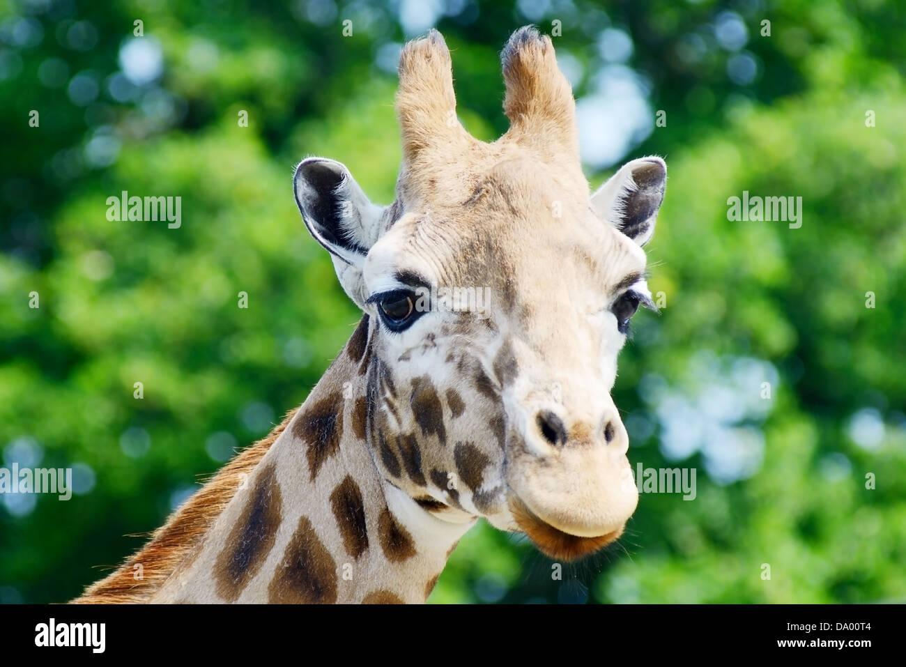 Why giraffe horns