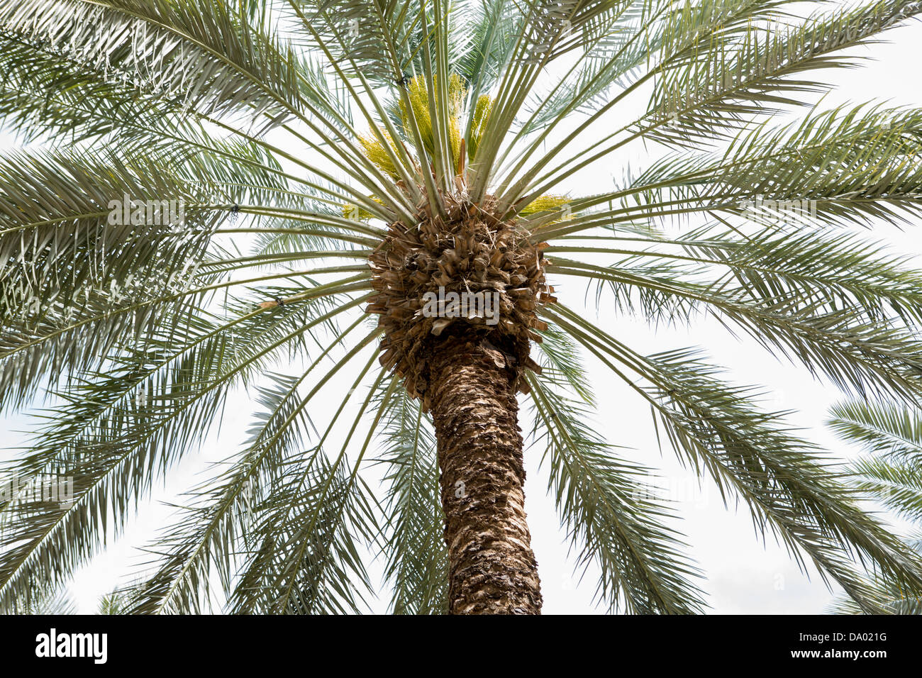 Date Palm Tree Oasis Stock Photos Date Palm Tree Oasis Stock
