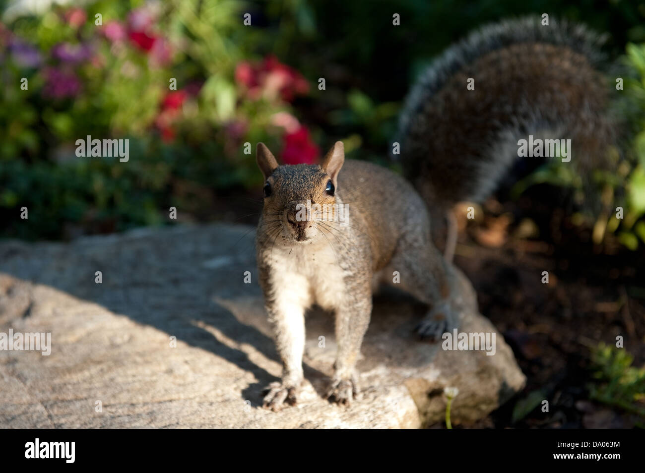 Squirrel, The Company's Garden, Cape Town, South Africa - Stock Image