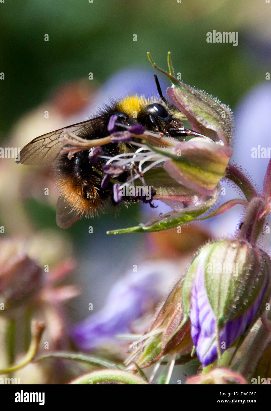 Honey Bee searching for nectar, while pollinating the local wild flowers. - Stock Image