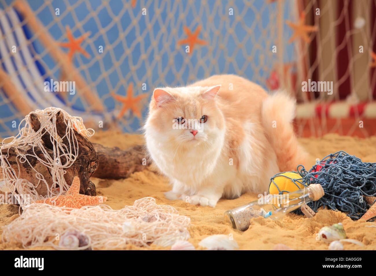 British Longhair Cat, cream-mackerel-tabby-white