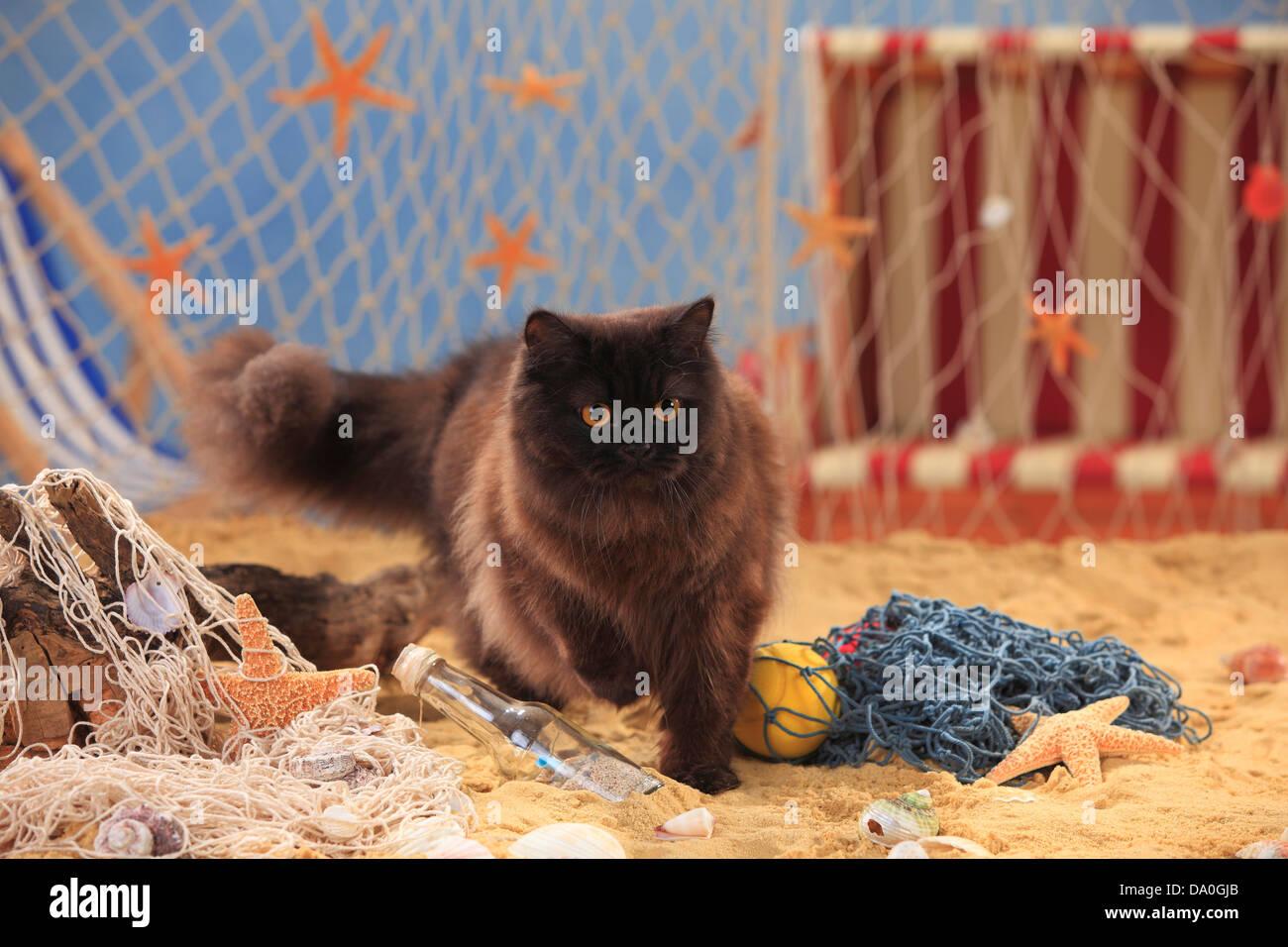 British Longhair Cat, black / Highlander, Lowlander