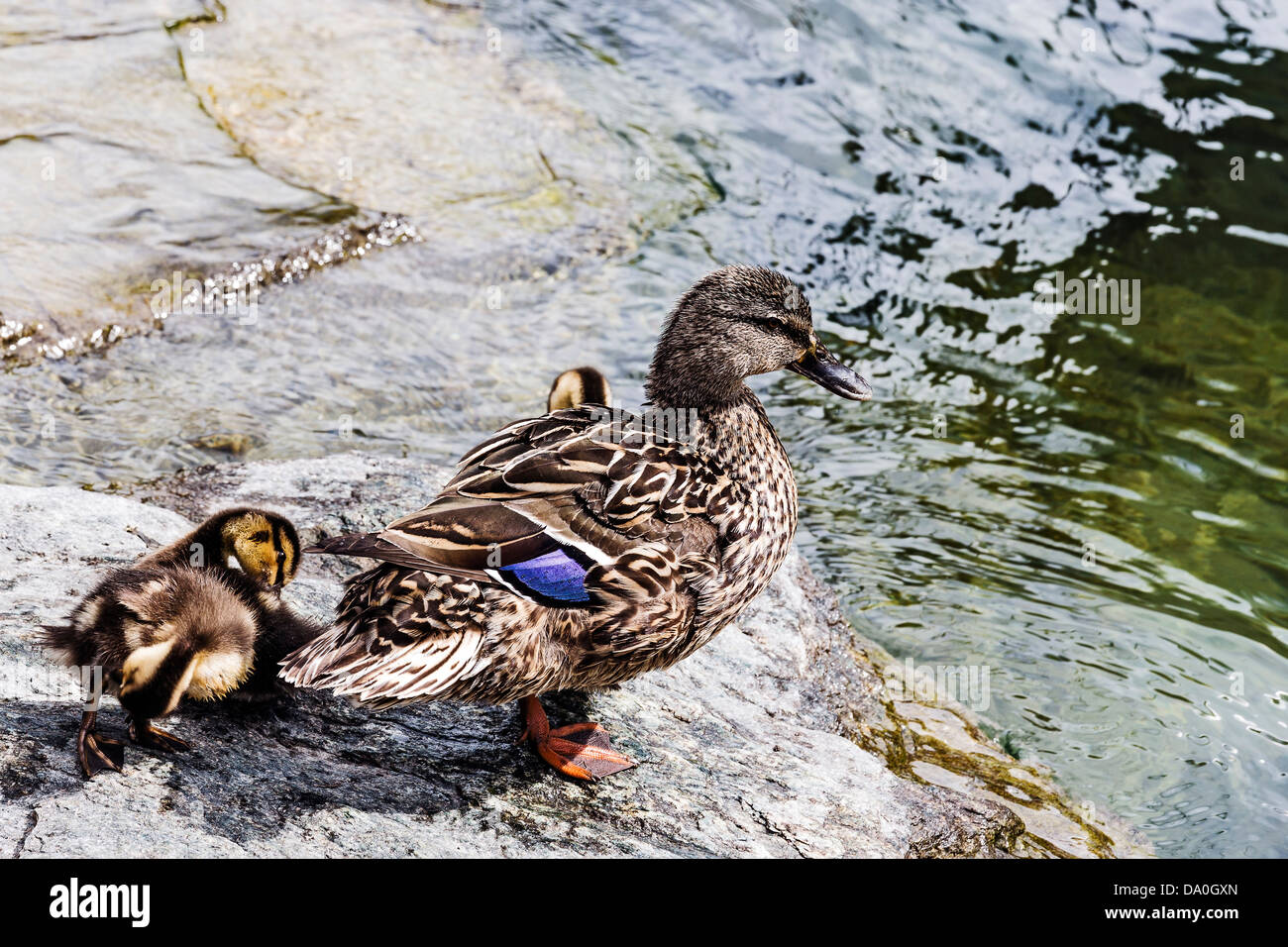Duck with a brood of ducklings - Stock Image