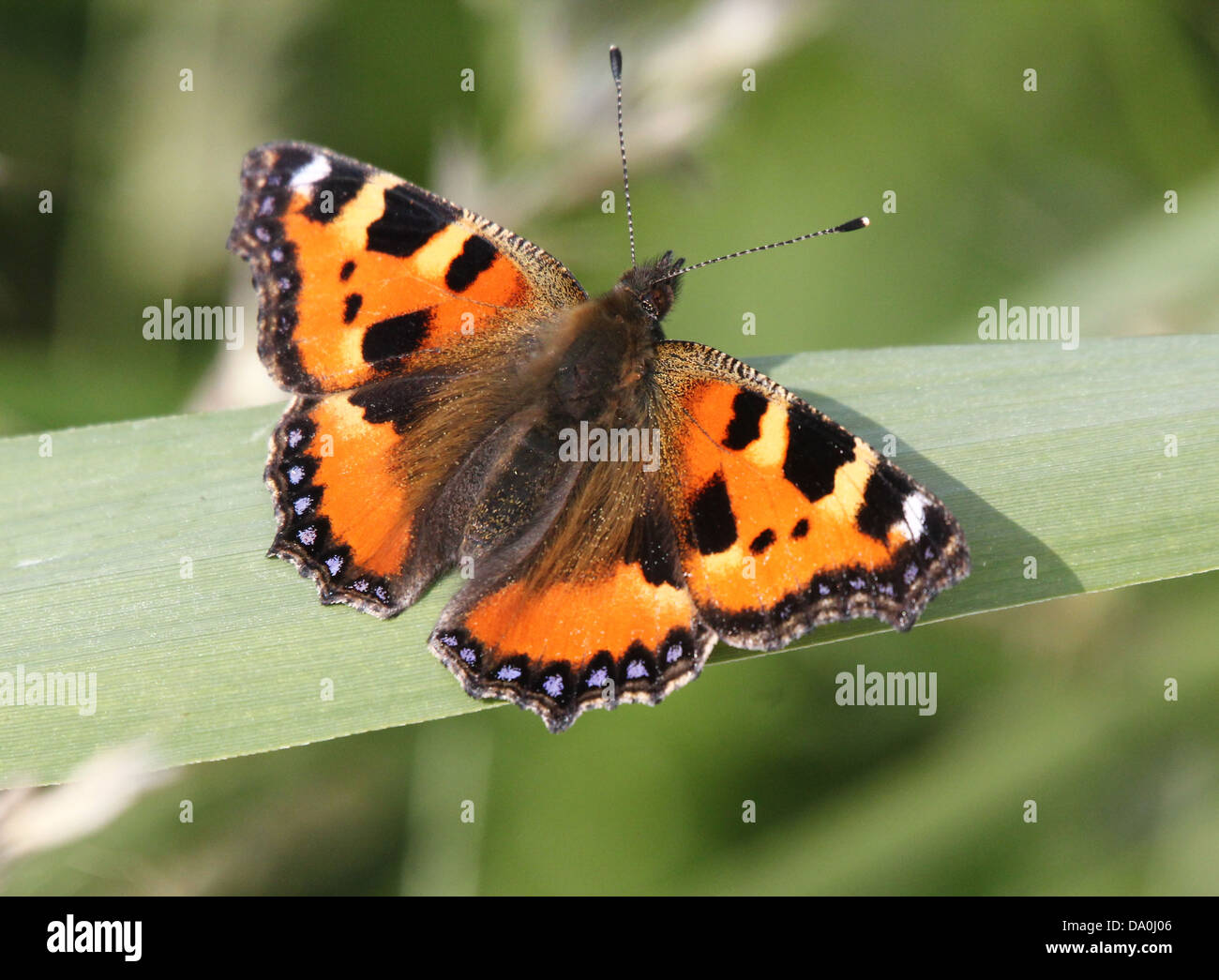 Small Tortoiseshell (Aglais urticae) butterfly - Stock Image