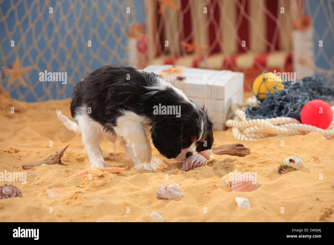 Cavalier King Charles Spaniel, puppy, tricolour, 9 weeks  Cavalier King Charles Spaniel, Welpe, tricolour, 9 Wochen - Stock Image