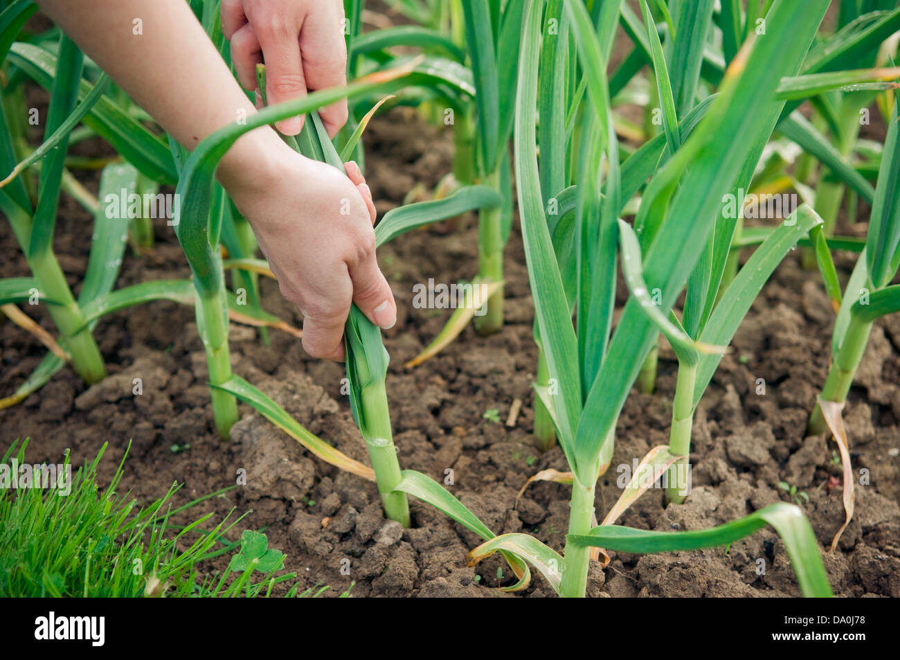 Hands picking young garlic plant from soil - Stock Image