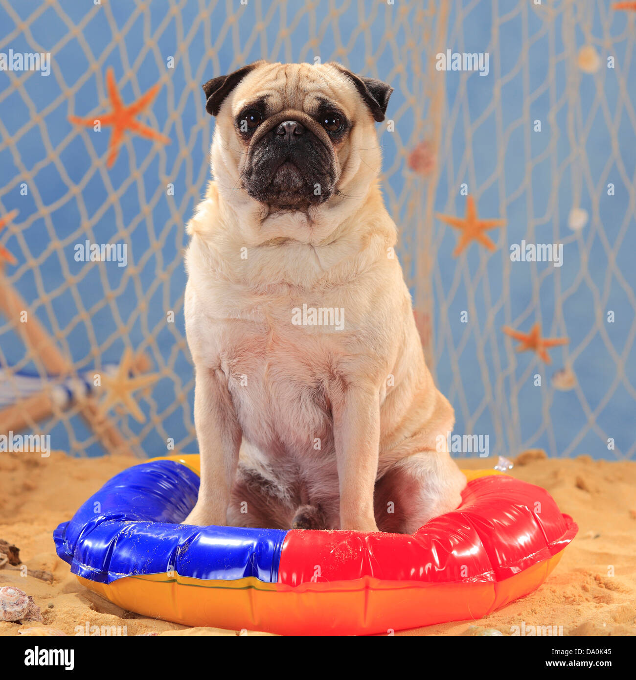 Pug / swimming ring, bathing ring |Mops, Ruede, Schwimmring Stock ...