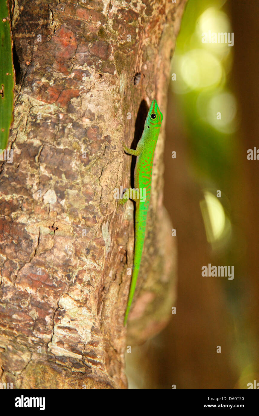 Phelsuma astriata astriata, Vallee de Mai Nature Reserve, home of Coco de Mer , Praslin, Seychelles - Stock Image