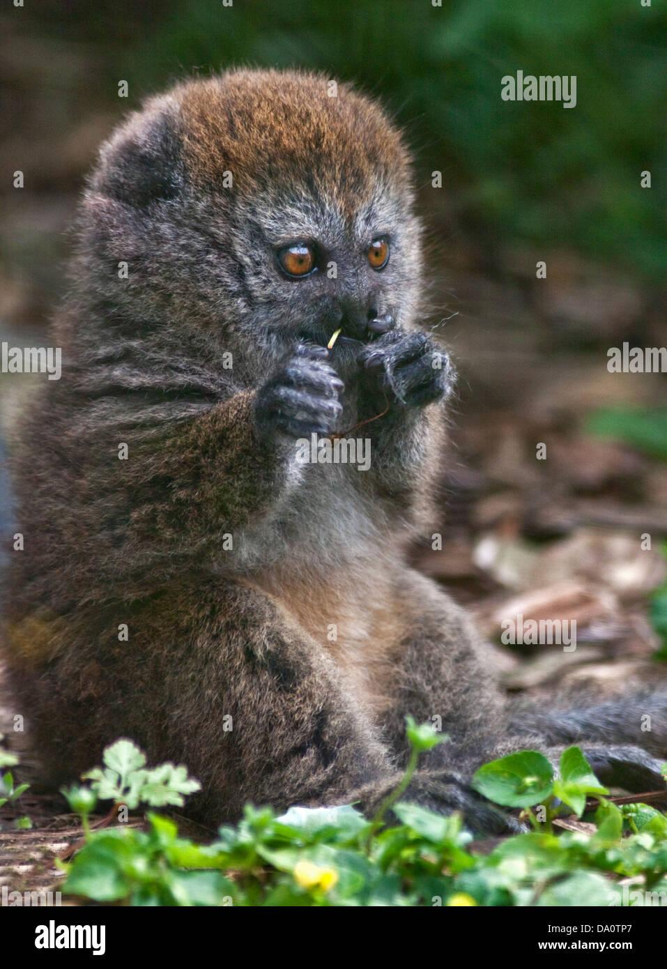 Baby Alaotran Gentle Lemur (hapalemur griseus alaotrensis) - Stock Image