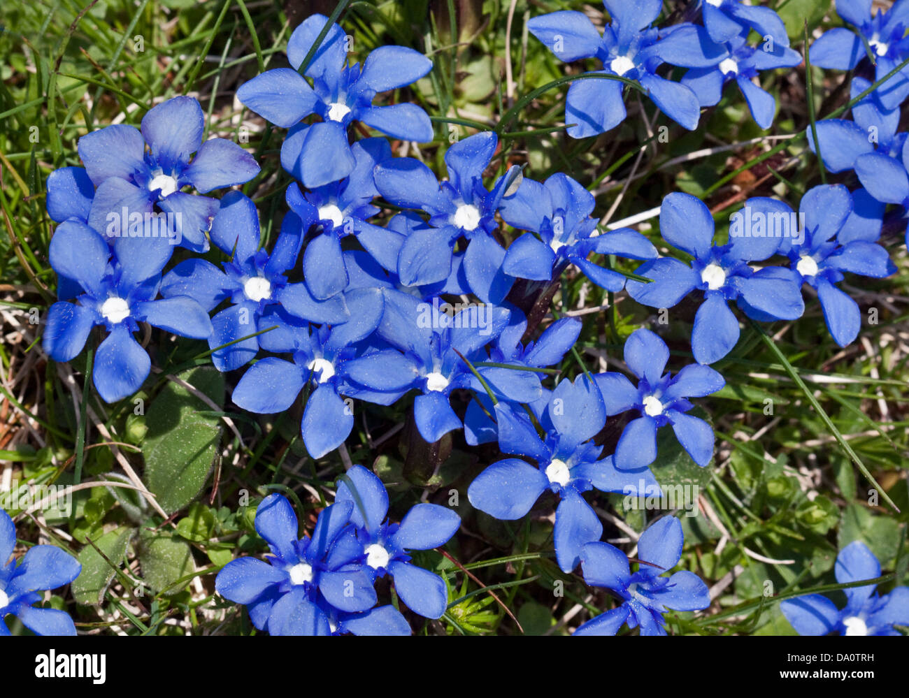 Spring Gentian (gentiana verna), Adamello National Park, Italy - Stock Image