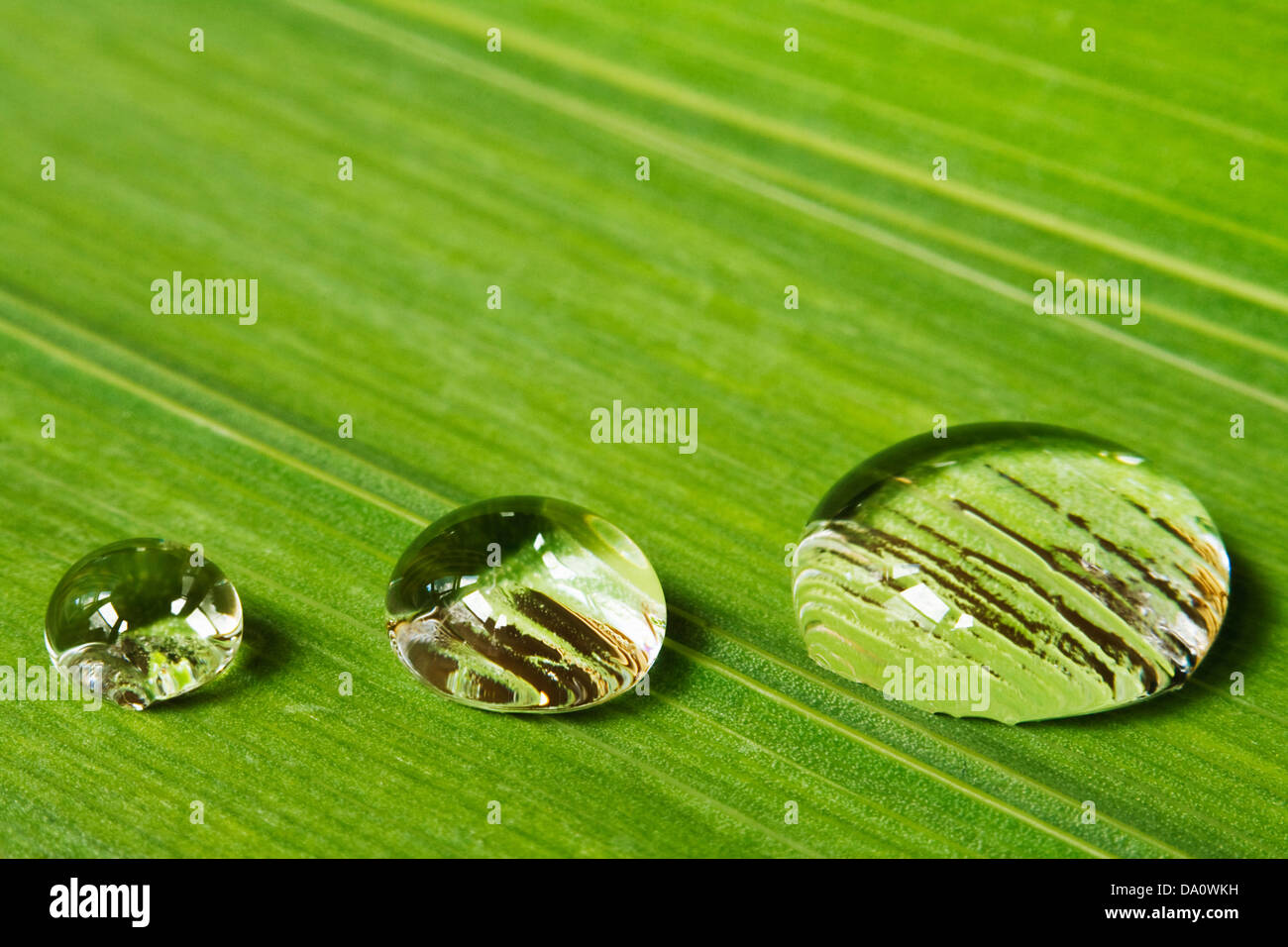 Three droplets of dew on a leaf background great for beauty products and a symbol of purity - Stock Image