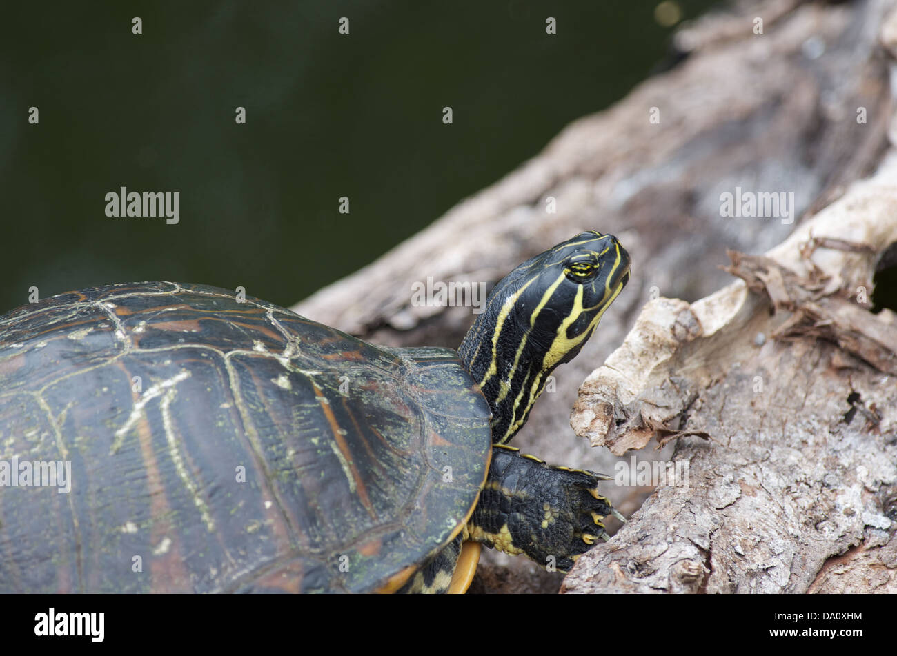 A Florida Red-bellied Cooter (Pseudemys nelsoni) on Anhinga Trail, Everglades National Park, Miami-Dade County, Stock Photo