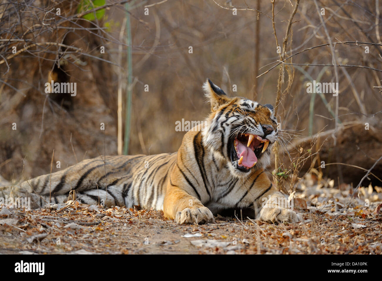 Wild tiger in Ranthambore tiger reserve - Stock Image