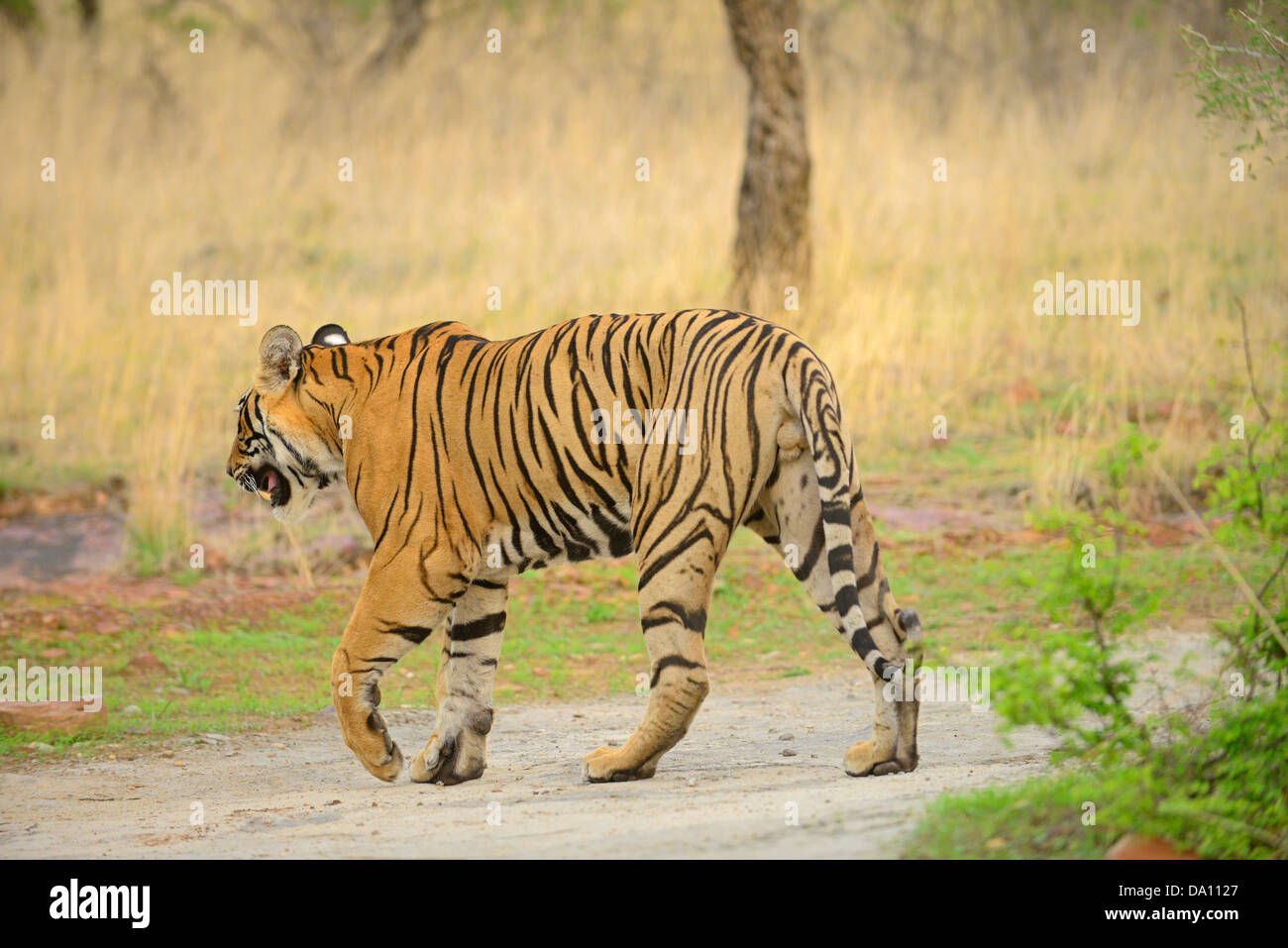 Wild tiger walking on a forest path in the green forests of Ranthambhore during monsoons Stock Photo