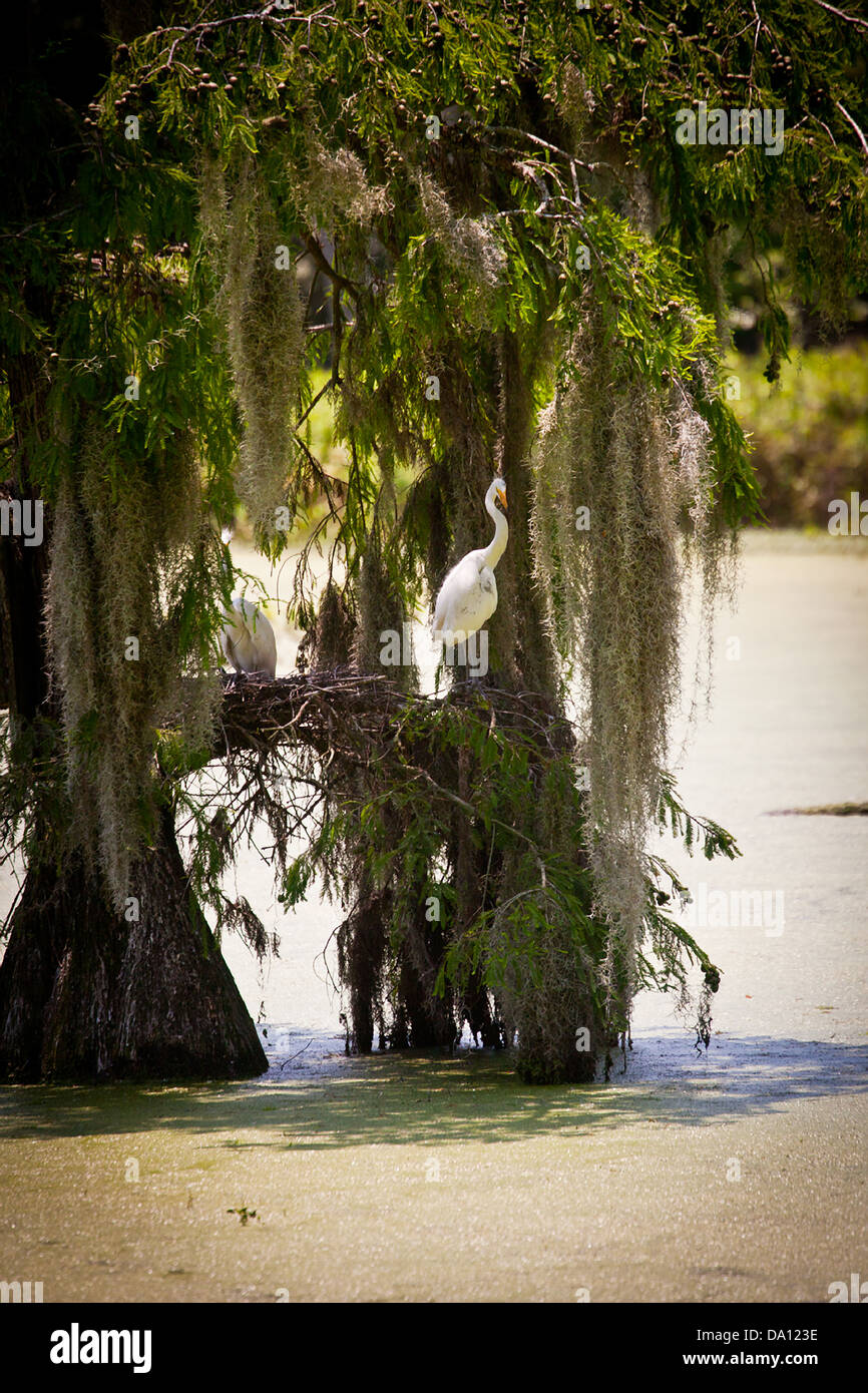 A white heron nests in swamp cypress trees in the Magnolia ...