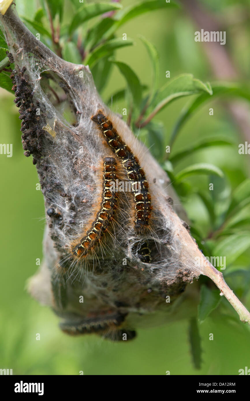 Small Eggar moth caterpillars (Eriogaster lanestris) on their tent in a Hawthorn bush at Collard Hill in Somerset - Stock Image