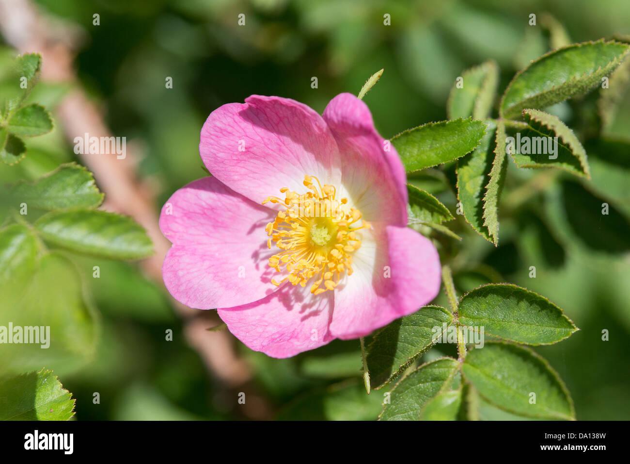 Wild dog rose flowering on Collard Hill Stock Photo