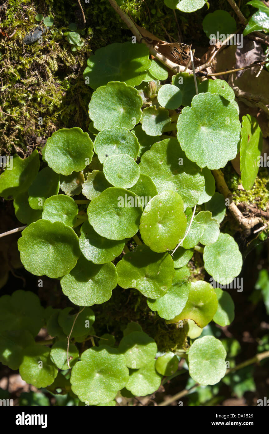 Umbilicus rupestris (Navelwort) growing on a moss-covered stone wall - Stock Image