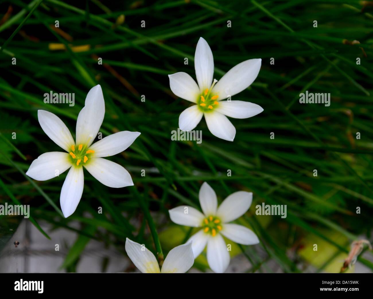 Several White Rain Lily Flowers Stock Photo 57804255 Alamy