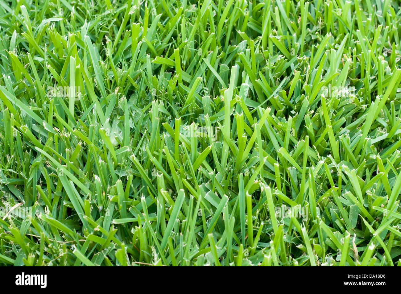 Background of saint augustine grass. - Stock Image