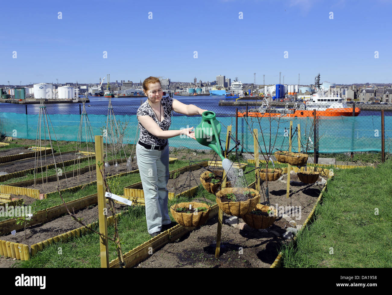 Woman tending allotment in Torry, with Aberdeen city centre visible in background, Scotland, UK - Stock Image