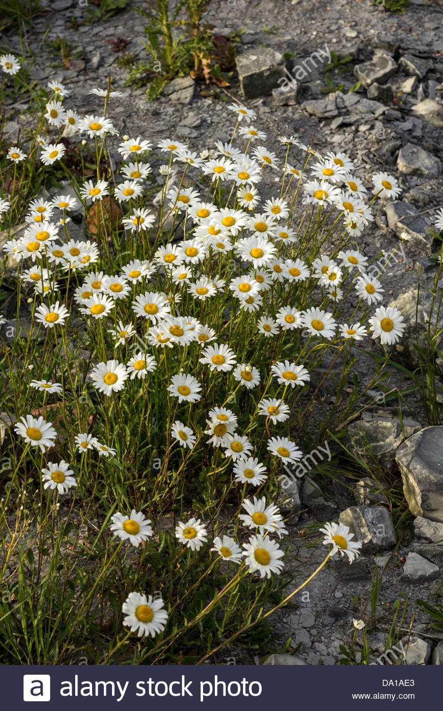 Wild flowers on disturbed ground or wasteland - Stock Image