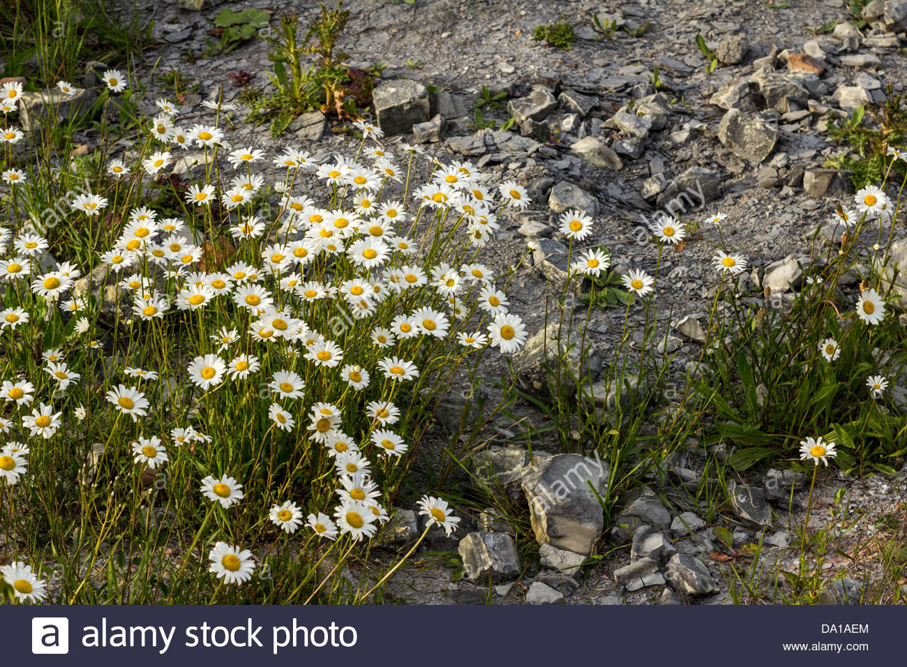 Wildflowers on wasteland - Stock Image