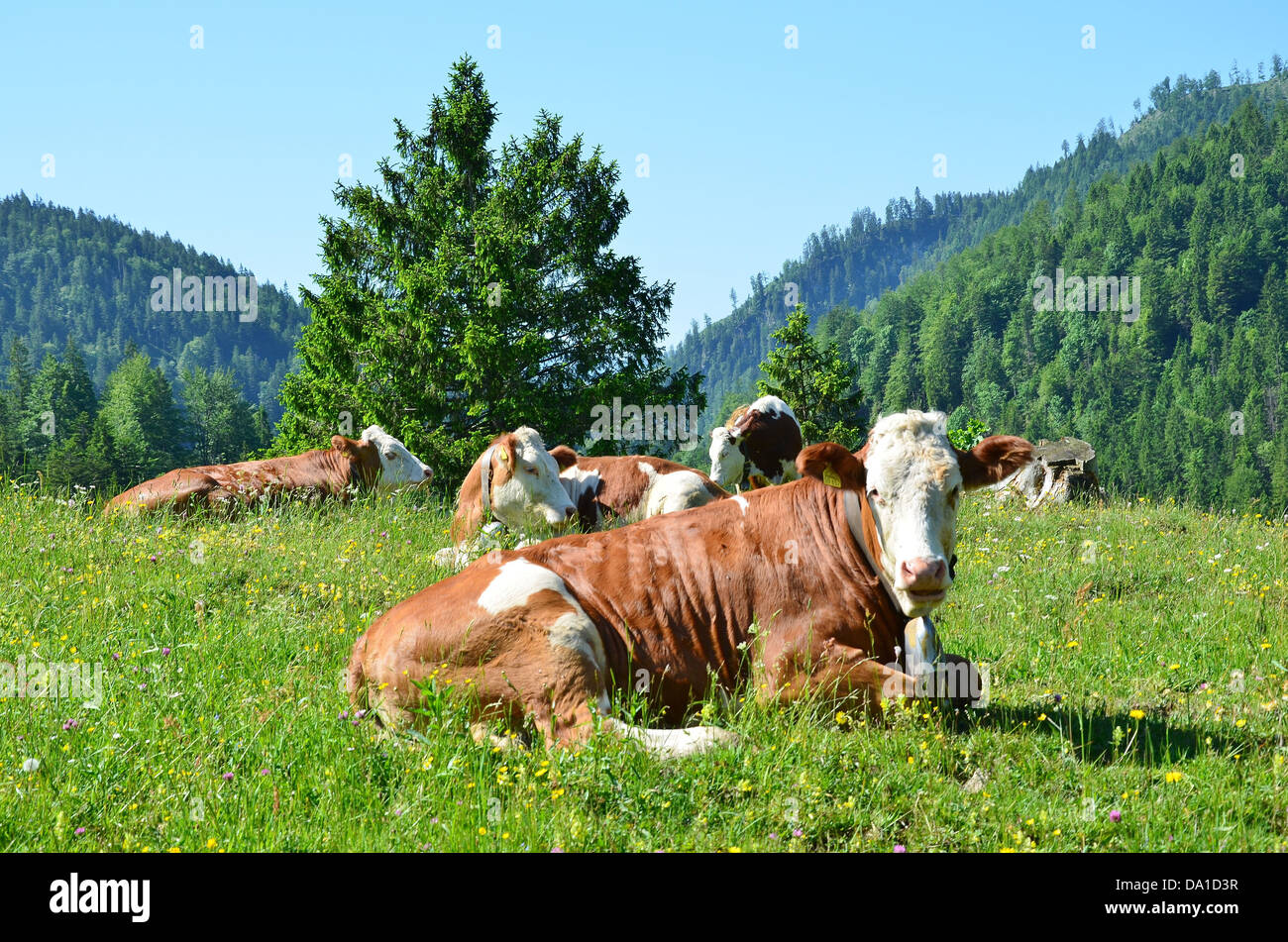 Cows on an alpine pasture in Bavaria Germany Stock Photo