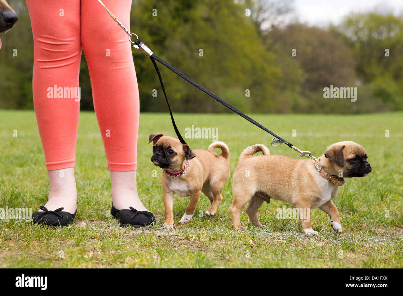A girl holds two small dogs on a lead - Stock Image