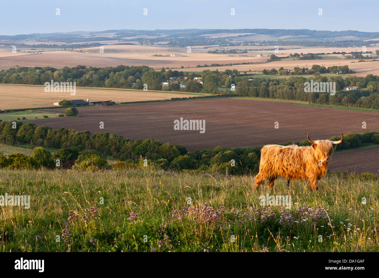 A Highland Cattle bull in a field on a Chiltern's hillside in Berkshire, southern England, GB, UK. - Stock Image