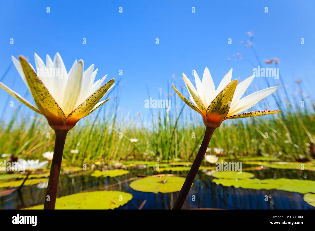 Two white water lilies blossoms reach toward the bright morning sky in Okavango Delta, Chobe National Park, Botswana, Stock Photo