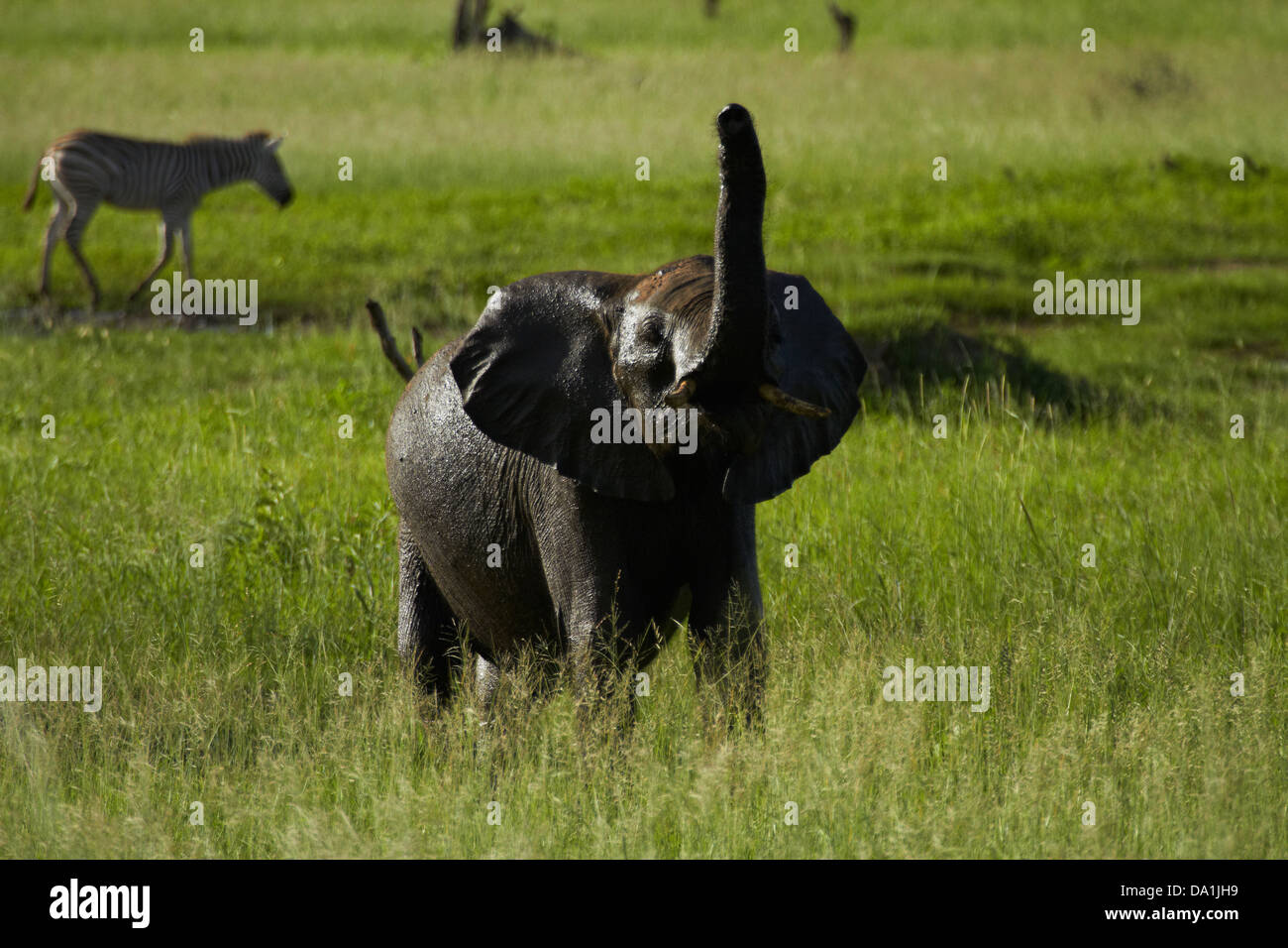 Elephant smelling the air (Loxodonta africana), Hwange National Park, Zimbabwe, Southern Africa Stock Photo