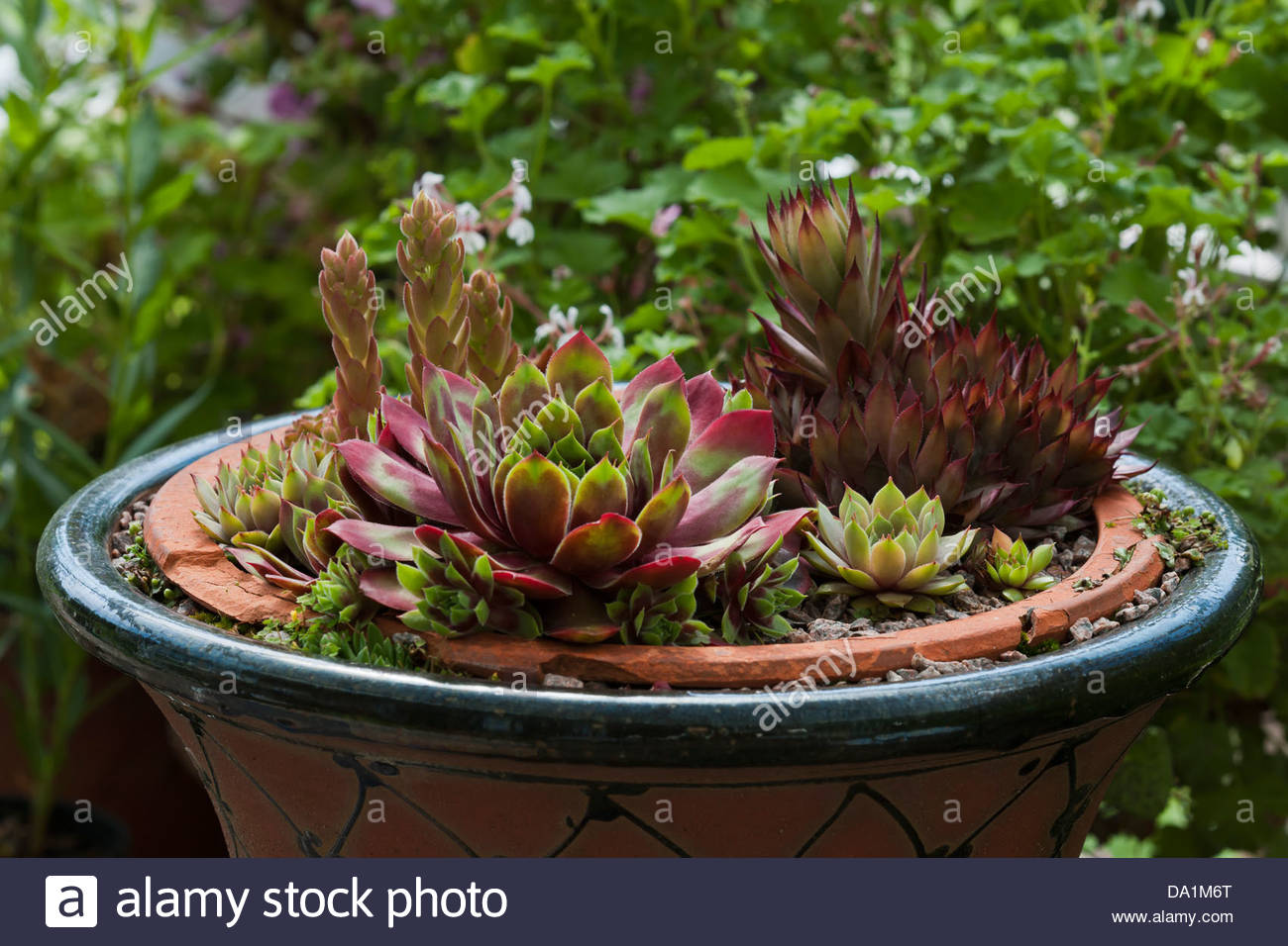 houseleek Sempervivums container alpine mat forming evergreen succulent summer June red green garden plant - Stock Image