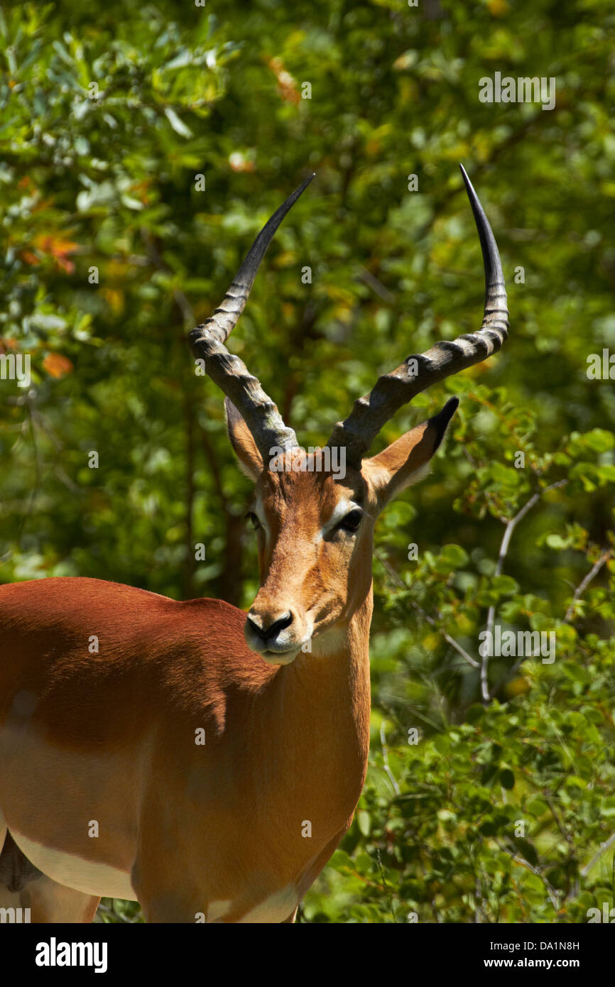 Male Impala (Aepyceros melampus melampus), Hwange National Park, Zimbabwe, Southern Africa Stock Photo