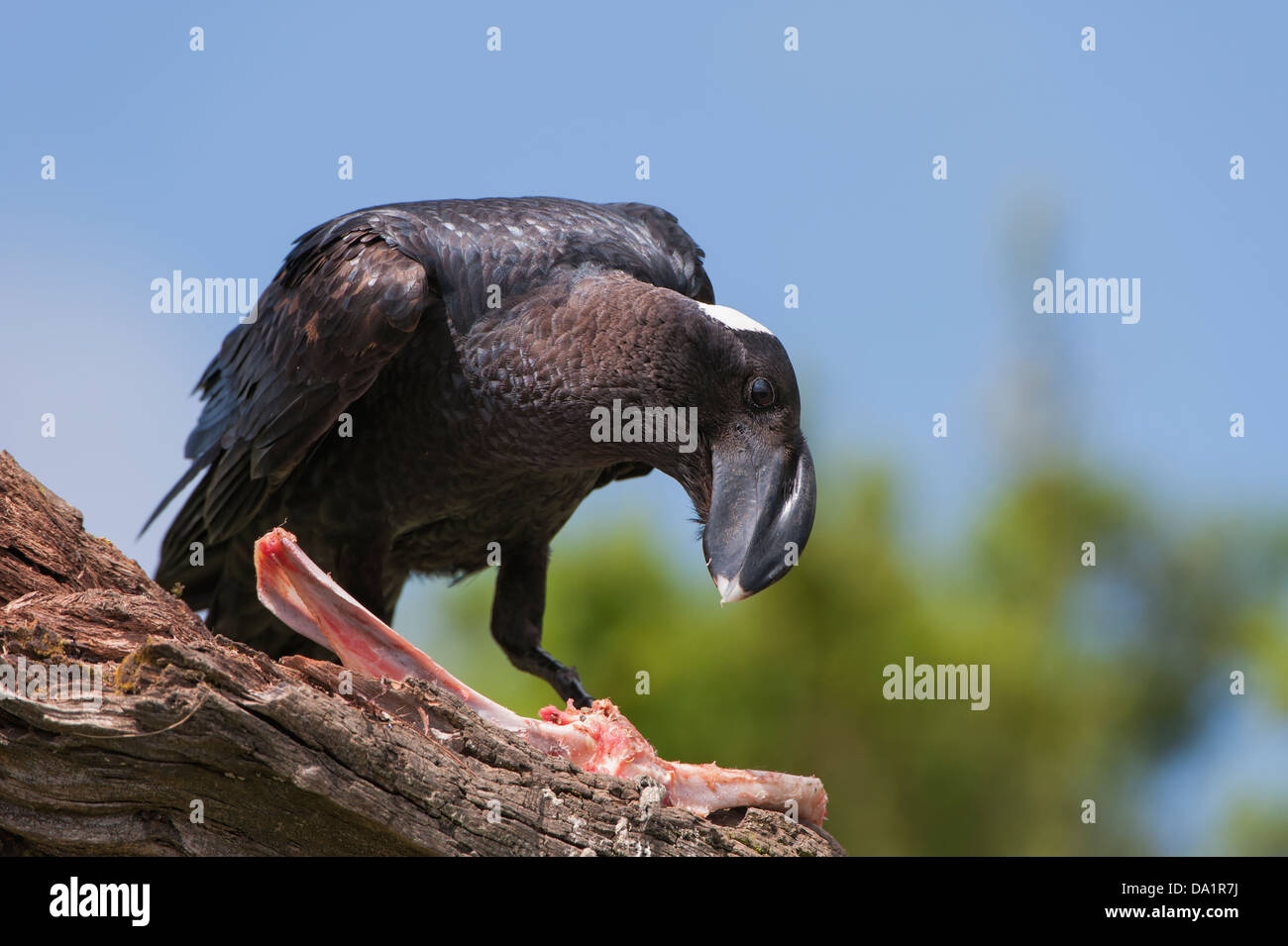 Thick-billed Raven (Corvus crassirostris) feeding on a carcass, Simien mountains national park,Ethiopia - Stock Image