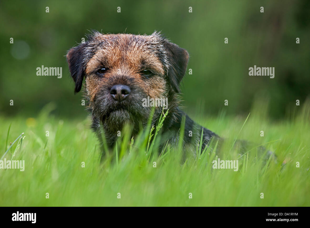 Border Terrier (Canis lupus familiaris) dog lying in meadow - Stock Image