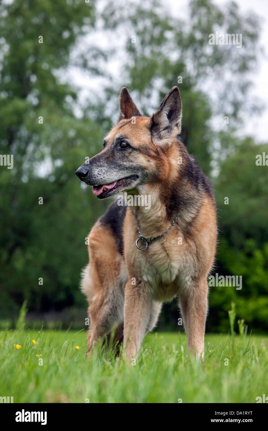 Old Alsation / German Shepherd dog (Canis lupus familiaris) in garden - Stock Image