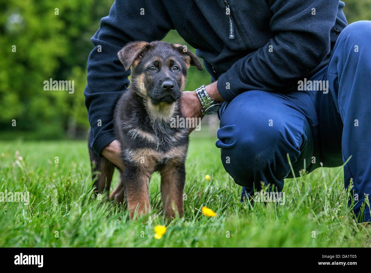 Owner holding Alsatian / German shepherd dog (Canis lupus familiaris) puppy in garden - Stock Image