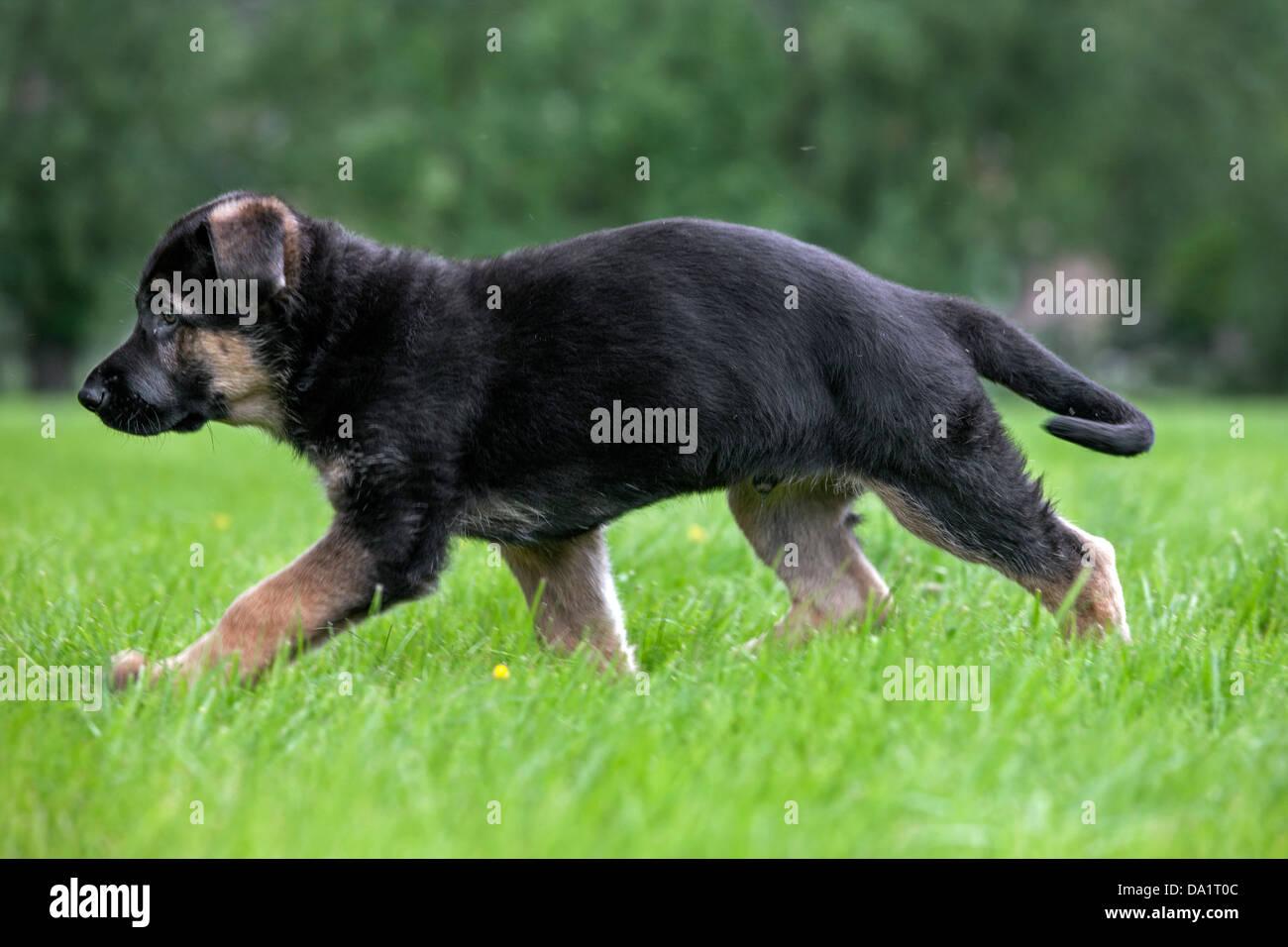 Alsatian / German shepherd dog (Canis lupus familiaris) puppy running in garden - Stock Image