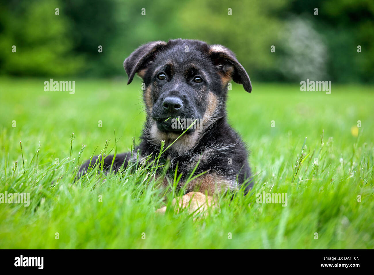 Alsatian / German shepherd dog (Canis lupus familiaris) puppy lying in garden - Stock Image