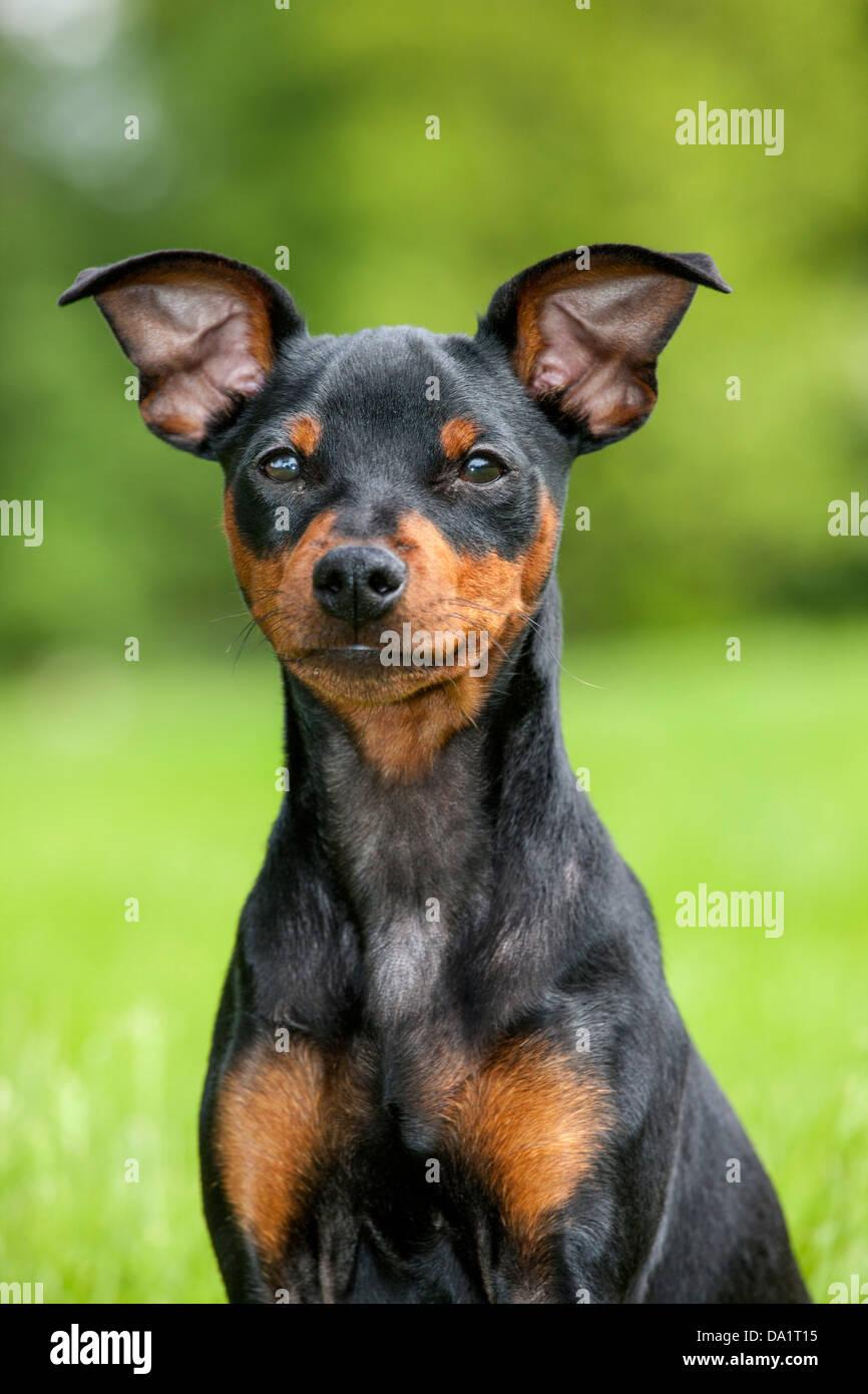 Close up of miniature pinscher / zwergpinscher / min pin dog sitting in garden - Stock Image