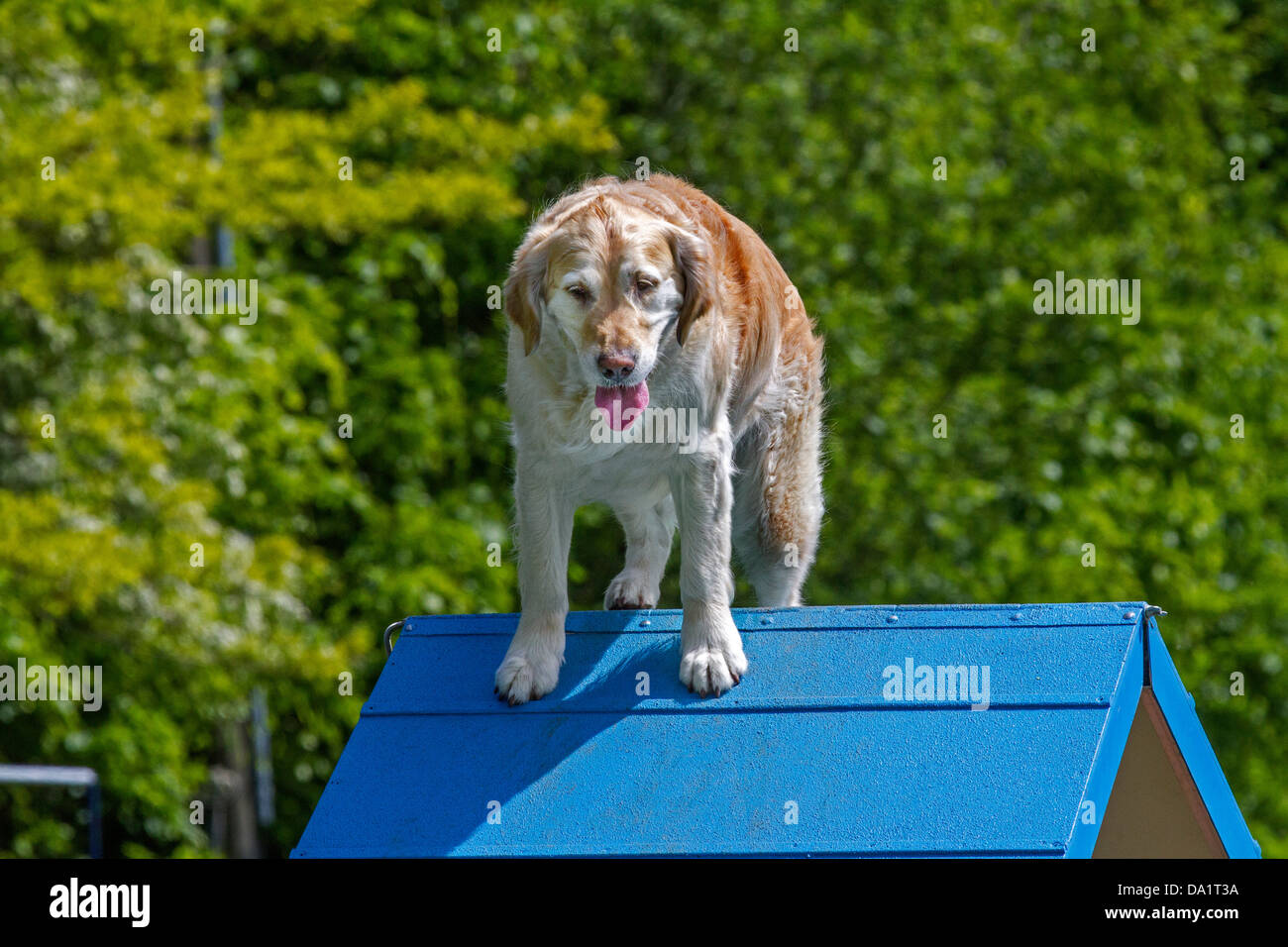 Golden retriever dog (Canis lupus familiaris) running and jumping at obstacle course in dog training school - Stock Image